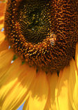 Sunflower Bee. Bee on a sunflower collecting pollen, close up Royalty Free Stock Photo