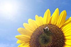Sunflower With Bee. Beautiful Sunflower With Bee Against The Blue Sky By Sunny Wheather Royalty Free Stock Images