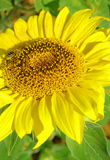 Sunflower with bee Stock Photo