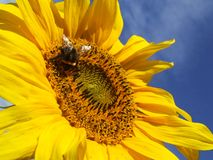 Sunflower and a Bee. A sunflower with a honey bee Royalty Free Stock Photography