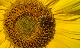 Sunflower with bee Stock Images