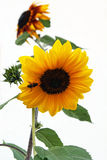 A sunflower with a bee Stock Photography