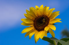 Sunflower and bee. Bee sitting on Sunflower against blue sky Stock Photography
