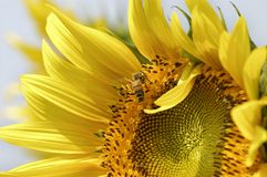 Sunflower and bee. Bee extract pollen on sunflower Stock Image