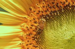 Sunflower and bee. Bees big collect collecting garden gardening head pollen season sunflower take taken yellow bee stamen aquatic asian sunlight summer wild Stock Image