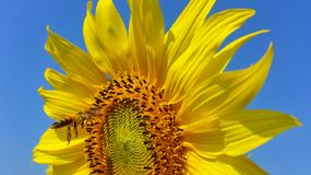 Sunflower. A bee on sunflower Stock Images
