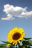 Sunflower with a bee. In front of a cloud royalty free stock photo
