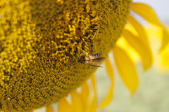 Sunflower with bee. Bee in sunflower Royalty Free Stock Photos