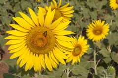 Sunflower with bee. Royalty Free Stock Photography