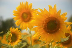 Sunflower and Bee Stock Images