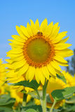 Sunflower with bee against the azure sky, close-up Royalty Free Stock Photography