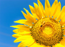Sunflower with bee Stock Photography