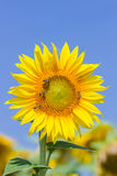Sunflower and bee against blue sky Royalty Free Stock Image