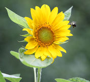 Sunflower with bee approaching. Sunflower in bloom with bee approaching Stock Images