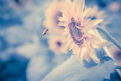 Sunflower and bee. In  auturnn Royalty Free Stock Images