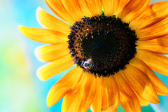 Sunflower and bee. In background blue Stock Photos