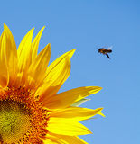 Sunflower and bee. On a background of blue sky Royalty Free Stock Images