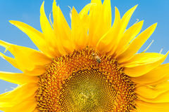 Sunflower and bee on a background of blue sky. Beautiful yellow sunflower and bee  against blue sky Royalty Free Stock Image