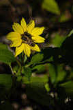 Sunflower with a Bee Stock Image