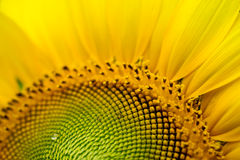 Sunflower and bee Stock Photography