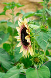 Sunflower and bee Royalty Free Stock Images