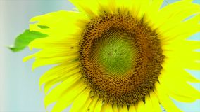 Sunflower with bee stock video