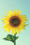 Sunflower and Bee. Royalty Free Stock Image