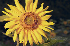 Sunflower bee. Blown sunflower with bee on it in garden Royalty Free Stock Image