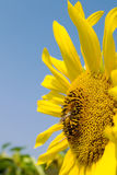 Sunflower and bee Stock Photo