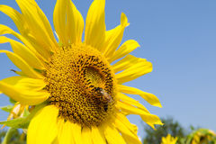 Sunflower and bee. In the blue sky Stock Images