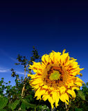 Sunflower. And bee with blue sky royalty free stock image