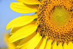 Sunflower and bee with blue sky Royalty Free Stock Images