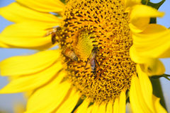 Sunflower and bee with blue sky Stock Photos
