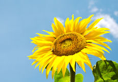 Sunflower with bee and blue sky Royalty Free Stock Image