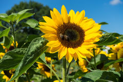 Sunflower with bee with blue sky Royalty Free Stock Images