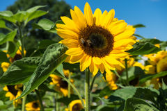 Sunflower with bee with blue sky Stock Photo