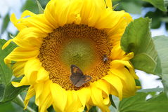 Sunflower with bee and butterfly Stock Image