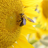 Sunflower bee Royalty Free Stock Photos
