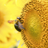 Sunflower bee Stock Image