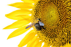 Sunflower Bee Royalty Free Stock Images