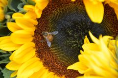 Sunflower With Bee. Close-Up Of A Sunflower With Bee Royalty Free Stock Image