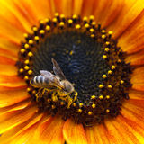 Sunflower With Bee Royalty Free Stock Photos