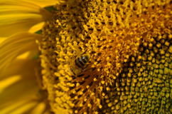 Sunflower with bee. Sunflower close up with bee Royalty Free Stock Photo