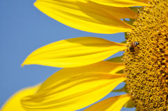 Sunflower and bee. royalty free stock images