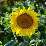 Sunflower with bee. Close up of a beautiful sunflower with a bee on a sunny day Stock Images