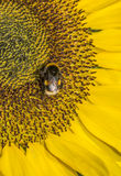 Sunflower and  bee. Close-up of sunflower and a bee collecting nectar Royalty Free Stock Photo