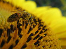 Sunflower and bee closeup Stock Photography