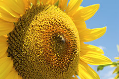 Sunflower with bee. Stock Image