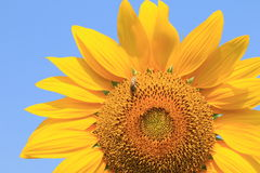 Sunflower and bee Stock Image