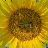 Sunflower with Bee. Collecting pollen Royalty Free Stock Photos